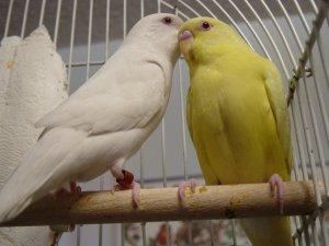 Альбинос и лютинос
