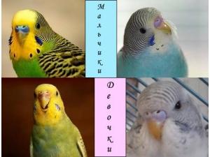 Определение пола волнистого попугая