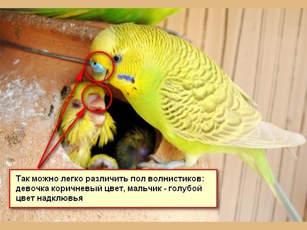 Определение пола волнистых попугайчиков
