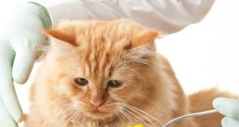Лечение кошек таблетками