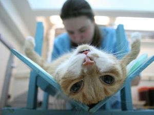 Процедура кастрации котенка