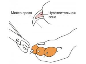 Подстригание когтей сфинкса кусачками