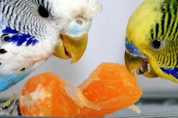 Кормление волнистых попугаев