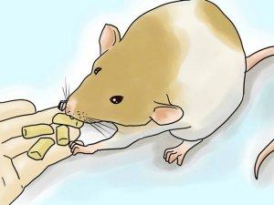 Удобство гранулированного корма для крыс