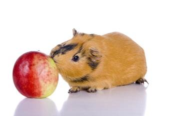 Особенности кормления морских свинок