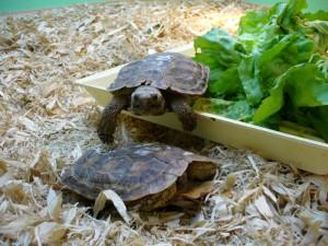 Кормление черепахи листьями салата