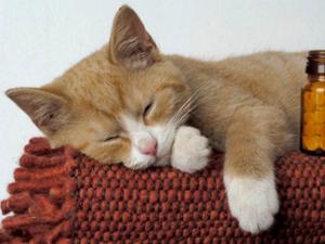 Слабый иммунитет у кошки - причина заражения коронавирусом