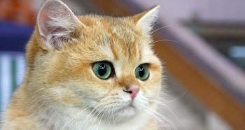 Проблема заболевания глаз у кошек