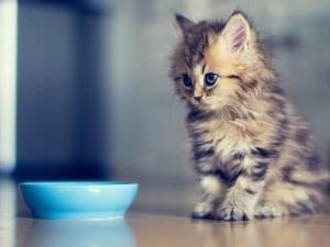 Смена корма - причина запора у котят
