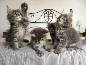 Котята мейн-куна