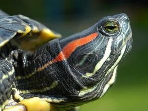 Популярность красноухих черепах в качестве домашних питомцев