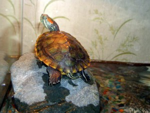 Островок суши для черепахи