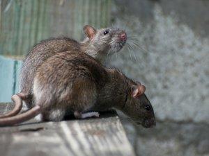 Способности миттельшнауцера к ловле крыс