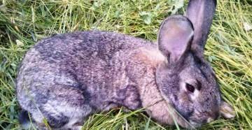 Проблема кокцидиоза у кроликов