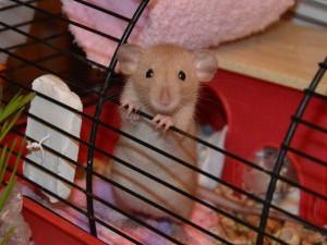 Содержание крысы в клетке
