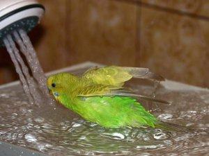 Любовь волнистых попугаев к купанию