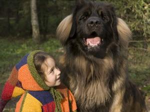 Леонбергер - спокойная семейная собака