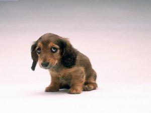 Более высокая температура у маленьких собак