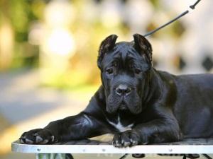 Выбор подрощенного щенка Кане Корсо