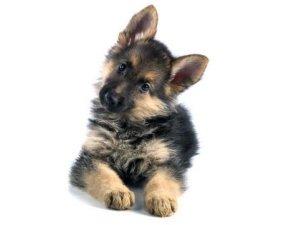 Трехмесячный щенок немецкой овчарки
