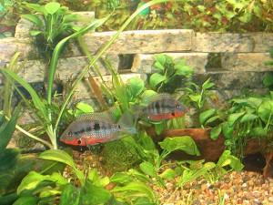 Большой аквариум для циклазом меека