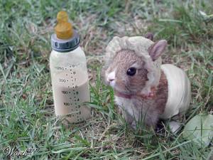 Кролик породы мини-рекс