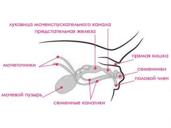 Строение мочеполовой системы кота
