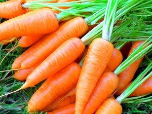 Морковь в рационе волнистых попугаев