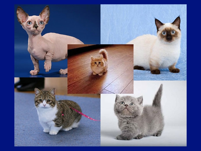 Манчкины - кошки с короткими лапами