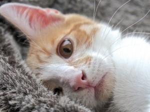 Укладывание кошки на бок при переноске