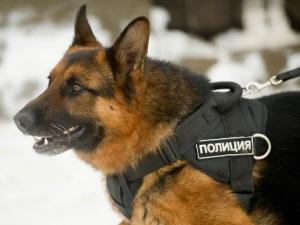 Немецкие овчарки на службе в полиции