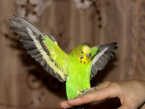 Общительность волнистого попугайчика