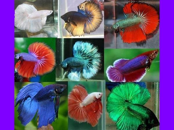 Разновидности окраса рыбки петушка