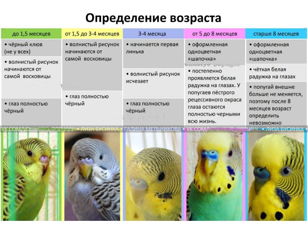 Определение возраста попугая по внешним признакам