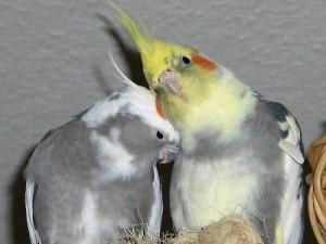 Самка и самец Кореллы