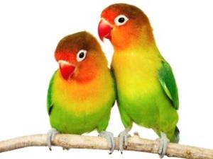 Имена для парных попугаев