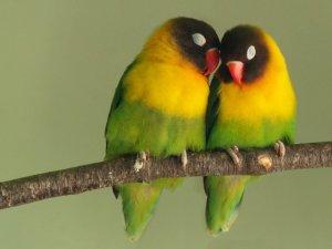 Важность взаимной симпатии попугаев для создания пары