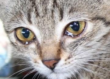 Слезение глаз у кошки