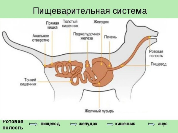 Пищеварительная система кошек