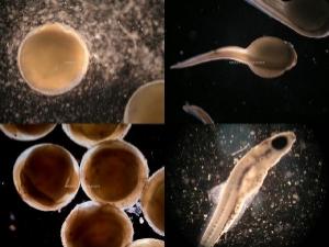 Эмбриональное развитие барбуса денисони