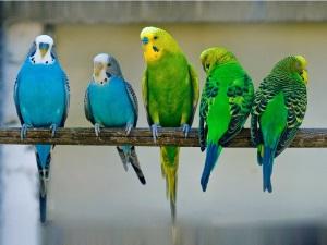 Адаптация попугая после зоомагазина