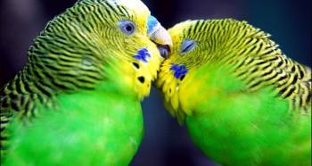 Необходимость гнезда для волнистых попугаев