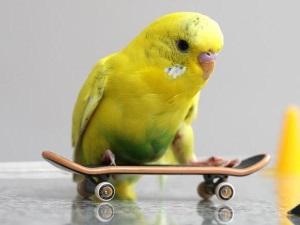 Дрессировка волнистого попугая