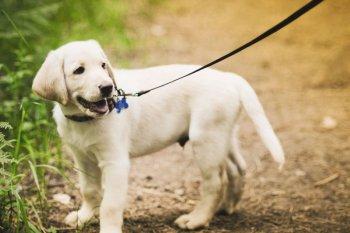 Приучение собаки к поводку
