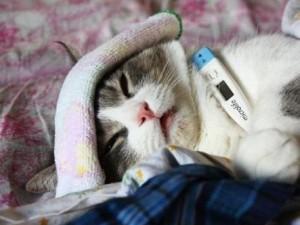 Повышение температуры у кота