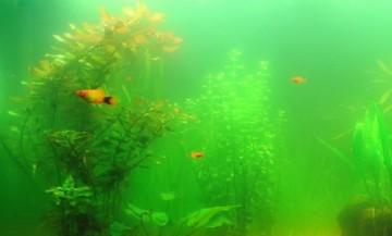 Позеленение воды в аквариуме