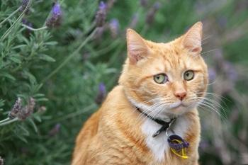 Проблема чумки у кошек