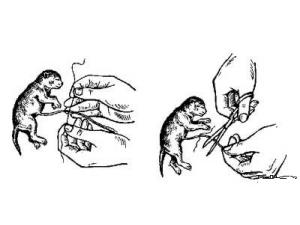 Перевязка и перерезание пуповины