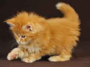 Имя для пушистого котенка