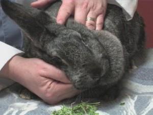 Отсутствие аппетита у кроликов